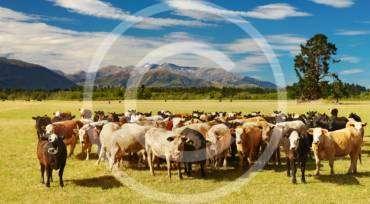 Innovative Farming: Regular Cow Foot-Bath